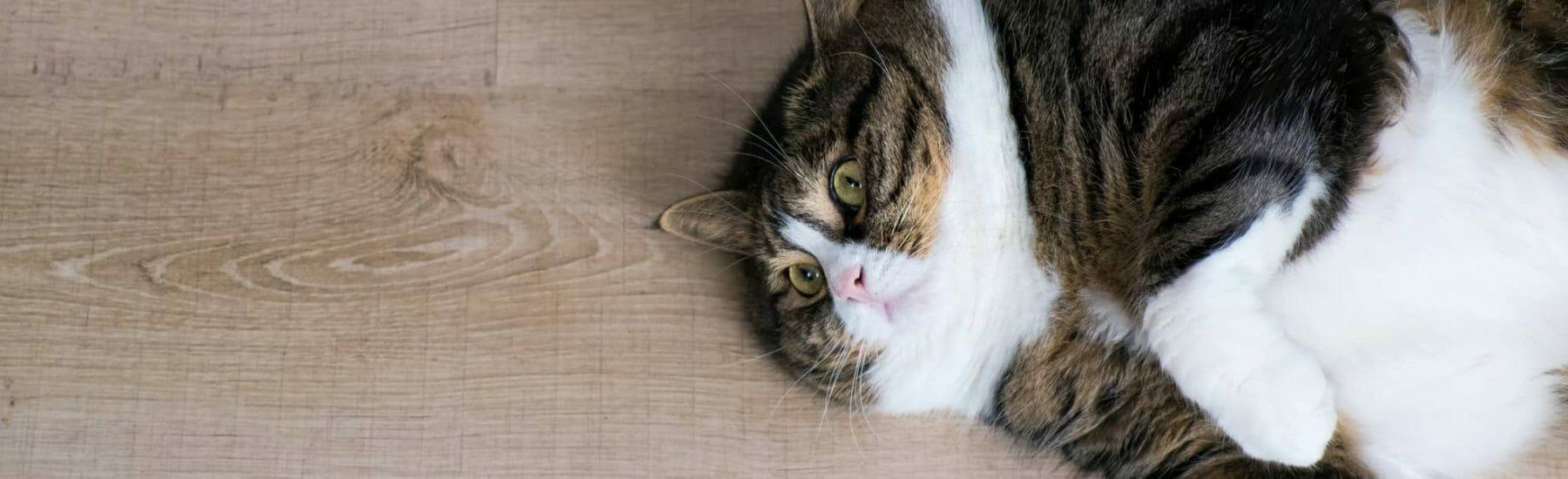 cat_overweight